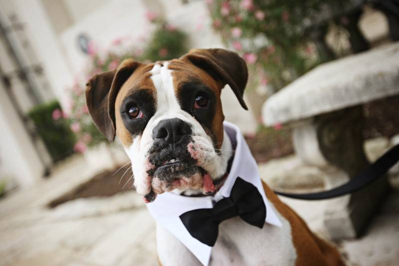7 Dogs in Tuxedos for Weddings